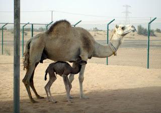 Camellos con su cría bebé