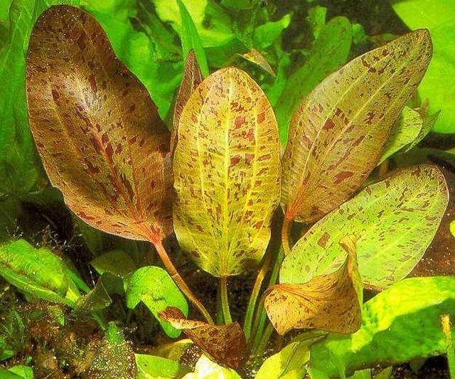 Эхинодорус Оцелот (Echinodorus cv. Ocelot)