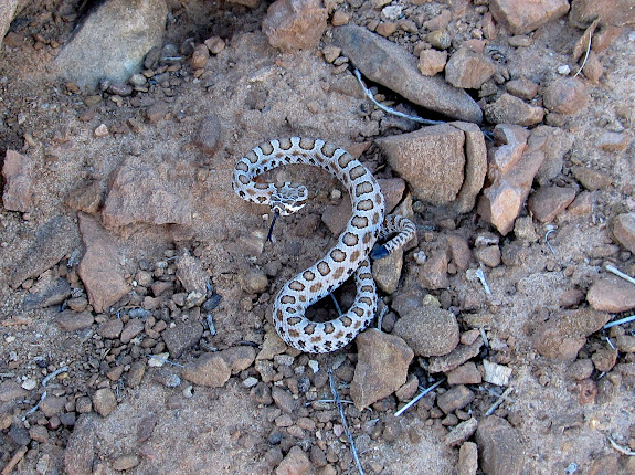 Tiny rattlesnake at the top of the climb out of Northeast Spur Fork