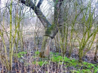 widoczne miejsce łączenia komponentów na starym drzewie