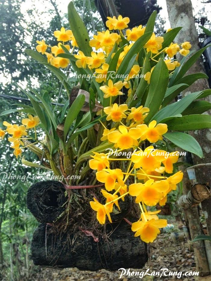 hoa Lan Hoàng Lạp