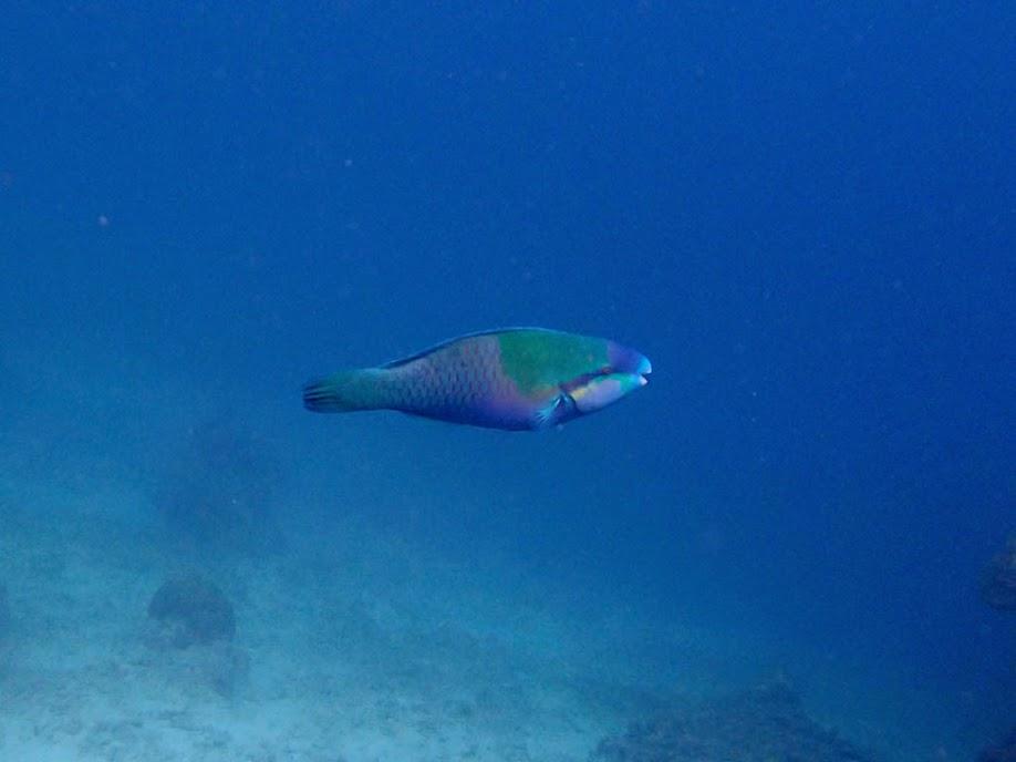 Scarus dimidiatus (Yellow-barred Parrotfish), Miniloc Island Resort reef, Palawan, Philippines.
