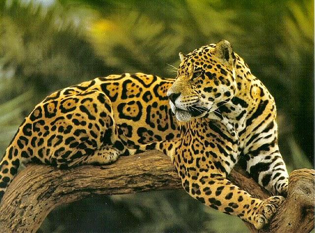 jaguar - ANW (Algemeen Nederlands Woordenboek) T L Jaguar