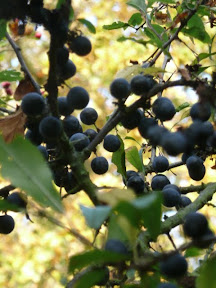 abundant supply of sloes