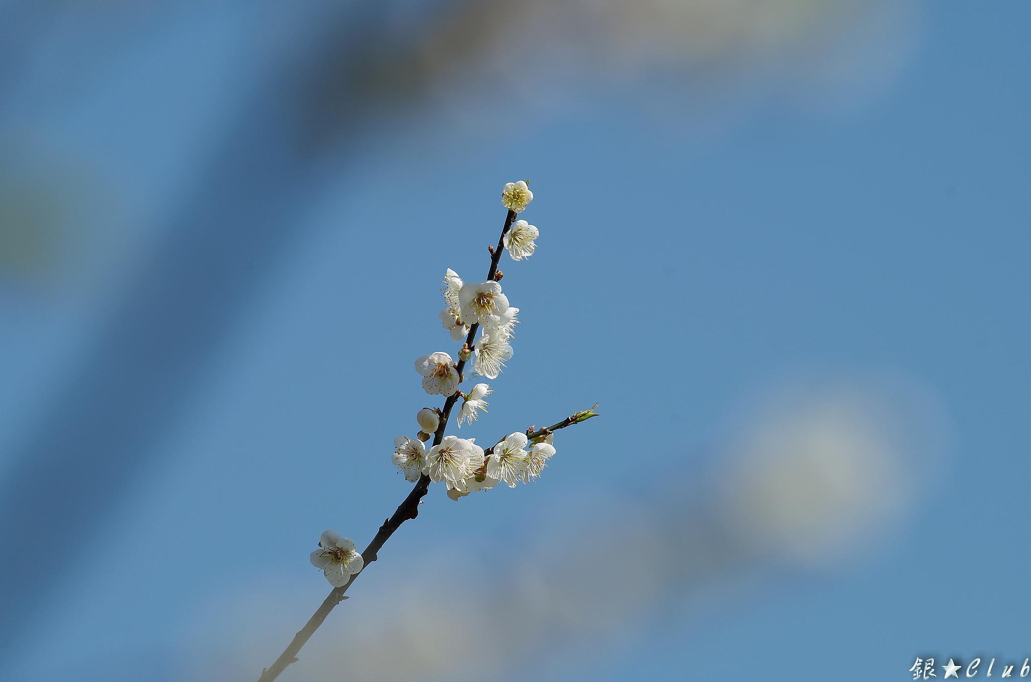 梅花季來了