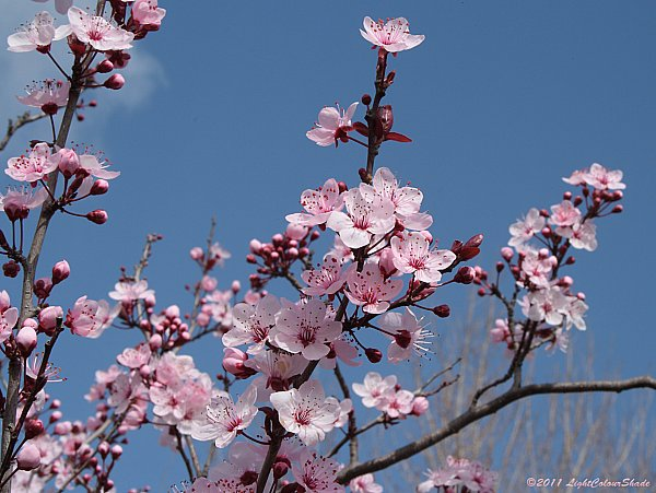 Purple-leaf/Cherry plum flowers
