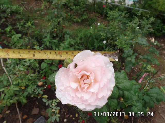 Bông hồng ngoại Haiku Romantika Rose lần này có đường kính to hơn đến 10cm