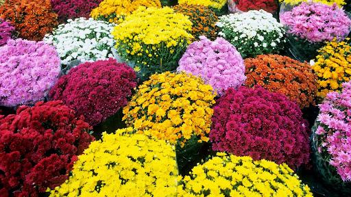 Mums, Flower Market, Provence, France.jpg