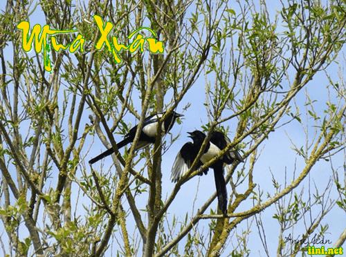 ảnh đôi chim én mùa xuân