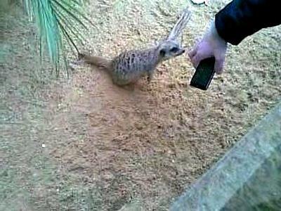 Сурикат в зоопарке в Лиссабоне фото