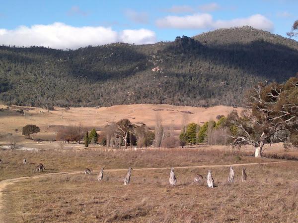orroral valley kangaroos