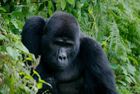 Kaungye gorilla
