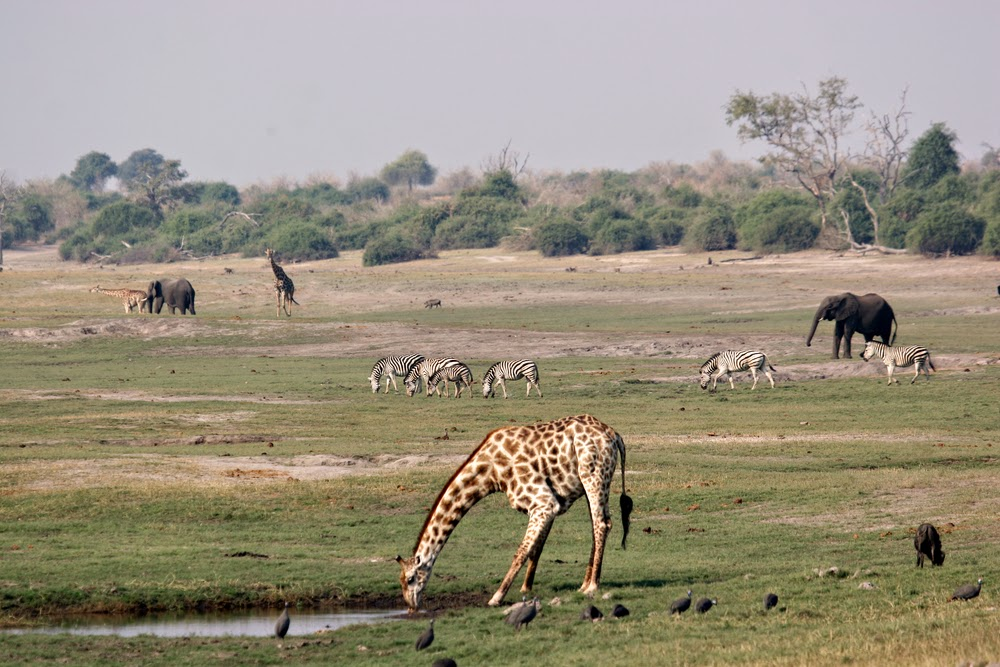 Chobe National Park, wildlife migration