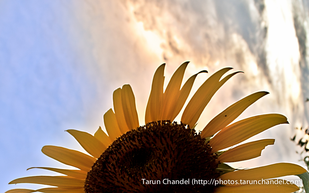 Sunset sunflower, Tarun Chandel Photoblog