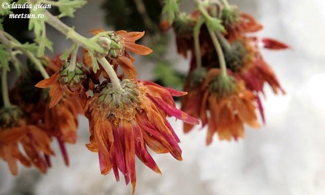 flori de grădină - tufănici