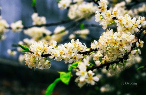 hoa man moc chau pys travel002 001 Mộc Châu mùa xuân   Thiên đường mận trắng