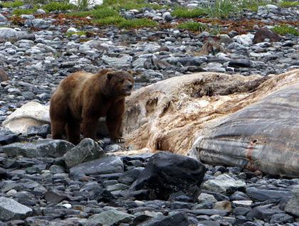 Urso pardo vs Urso polar 1+%282%29