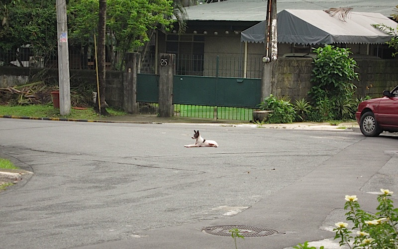 a dog lying down in the middle of the road