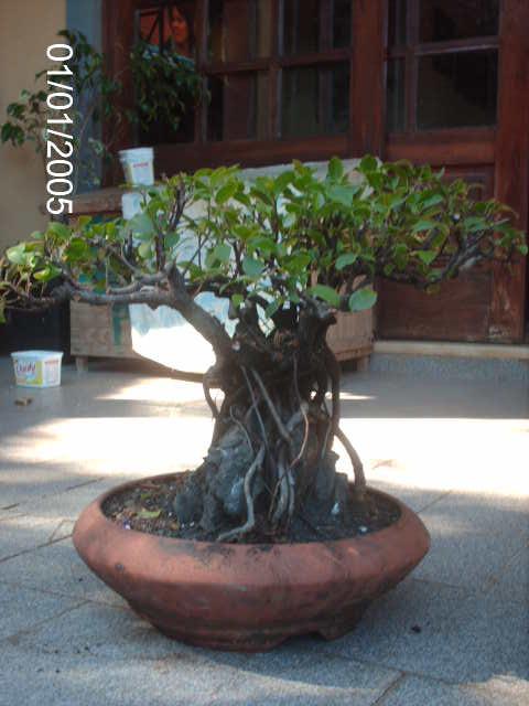 Ficus Microcarpa do Roberto Teixeira... PICT1733