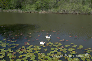 Sakarya, Karasu'daki Acarlar Longozu'nda nilüferler arasında dolaşan ördekler