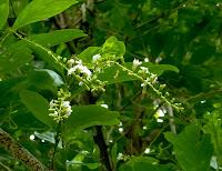 https://lh4.googleusercontent.com/-VVFK9gT4e0E/T92kM4f3BfI/AAAAAAAAAlY/897KFM7LtUc/s1600/web-small+white+fragrant+flowers-1.jpg