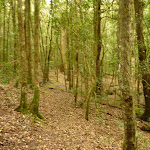 Forest near the Moss Wall close to Watagan Forest Rd in the Watagans (322631)