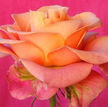 Rose Duran