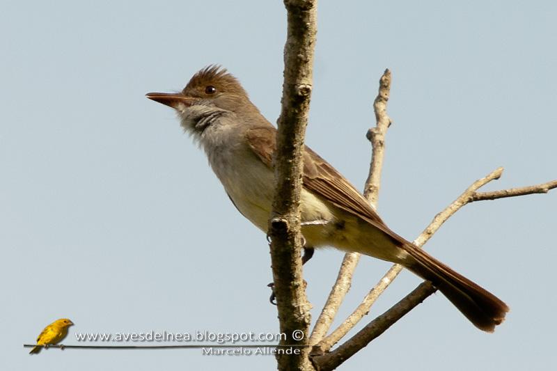 Burlisto pico canela (Swainson´s Flycatcher)