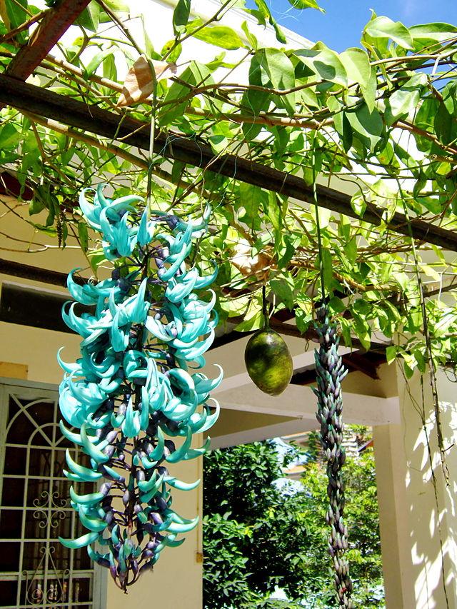 Hoa Móng Cọp quý hiếm - hoa mong cop xanh.6