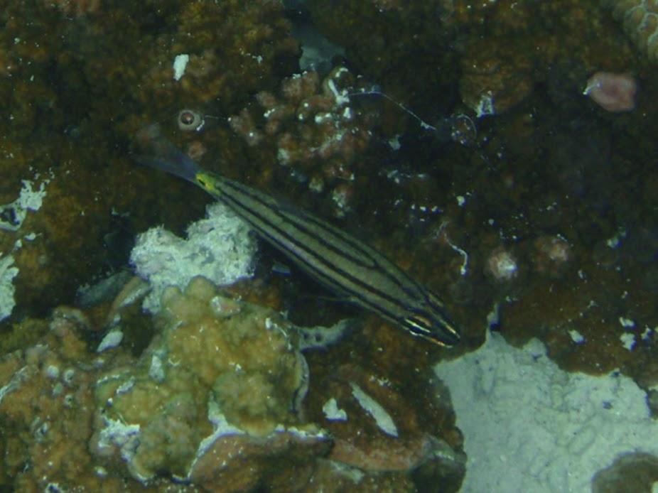 Cheilodipterus quinquelineatus (Five-lined Cardinalfish), Aitutaki.