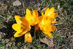 kolejne oznaki wiosny - Błonia i Krokusy
