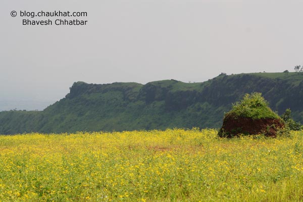 Daisy flower bed on way to Kas plateau
