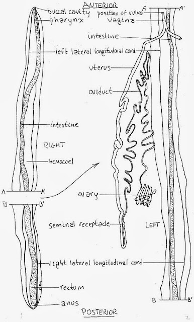 life cycle of ascaris lumbricoides with diagram pdf