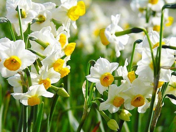 Ảnh vườn hoa thủy tiên
