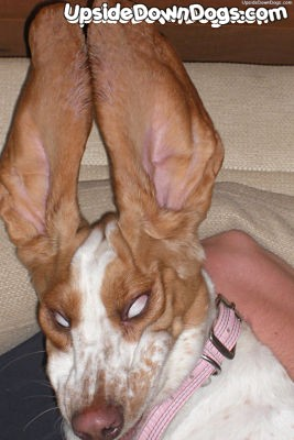 [Image: lucy_the_basset_hound_dog.jpg]