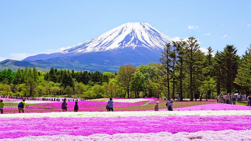 富士芝桜まつり 写真5