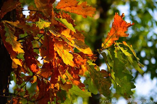 Листья дуба осенью