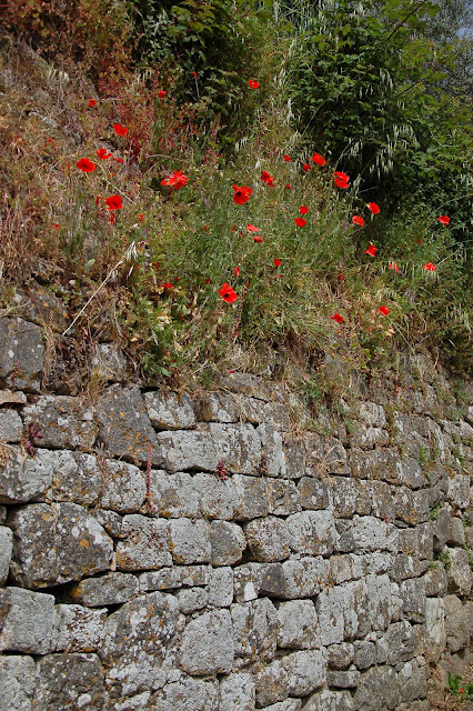 Poppies and medieval walls in Montalcino in May