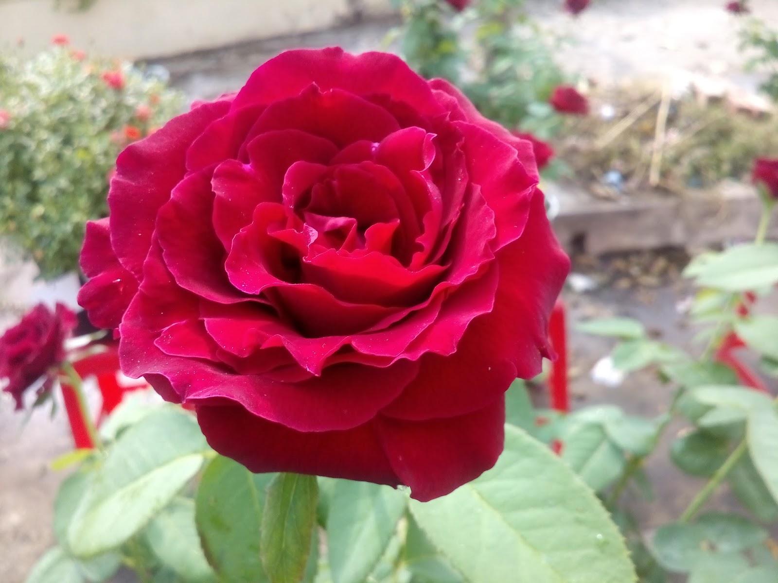 Hồng nhung Sa Đéc, với form hoa tròn trịa