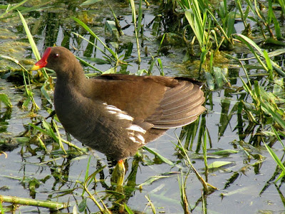 11-Nov-2011 Common Moorhen Pic: SK Srinivas