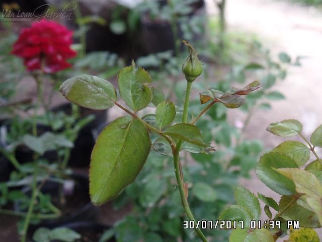 Nụ hoa hồng Miranda rose