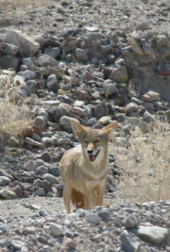 coyote en el valle de la muerte, nevada
