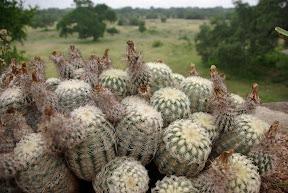 Lace Hedgehog Cactus
