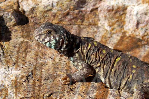 Molly - Ornate Uromastyx from moonvalleyreptiles.com & Uromastyx Care: Uromastyx Housing Set Up and Feeding ... azcodes.com