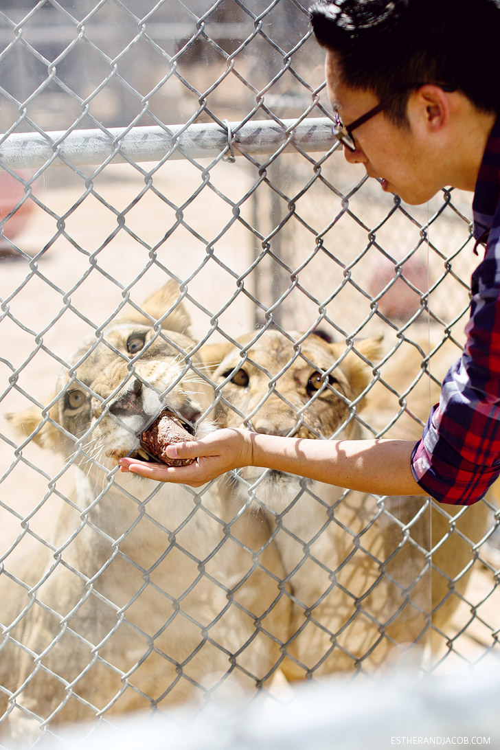 Local Adventures: Hand Feeding Lions at the Lion Habitat Ranch Las Vegas.