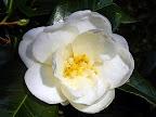 白色 八重咲き 筒しべ 中〜大輪