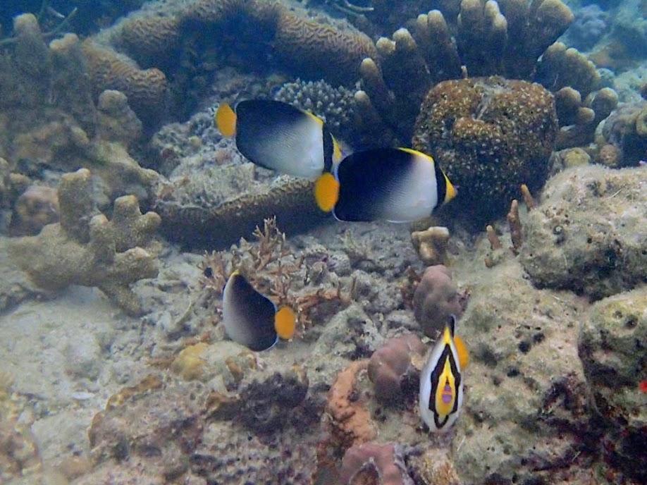 Chaetodontoplus mesoleucus (Vermiculated Angelfish), Chindonan Island, Palawan, Philippines.