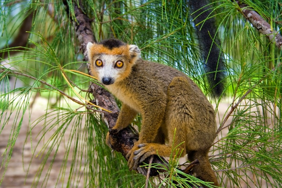 Sandford brown Lemur