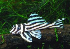 Hypancistrus zebra - Fajvédelem, veszélyeztetettség