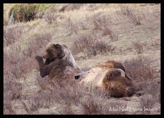 Urso pardo vs Urso polar GrizzlyBearBisonCarcass_8526-529x381